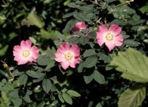 Rosa sherardii (Sherard's Downy Rose)