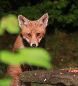 Red Fox (Vulpes vulpes).GA