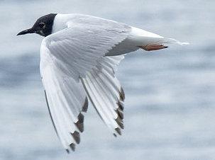 Bonapartes Gull (Chroicocephalus philadelphia)