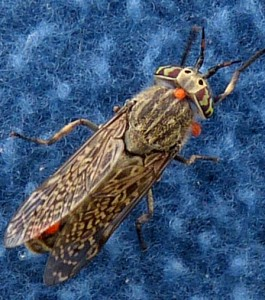 Haematopotus pluvialis (Horse Fly)