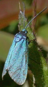 Forester Moth at Kilmartin, one of 99 SBL moth species
