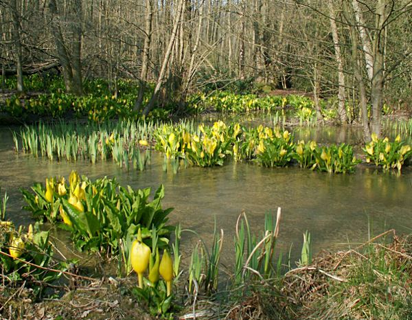 American Skunk Cabbage. Photo: RPS Group PLC, Creative Commons Attribution 2.0 (UK) Licence